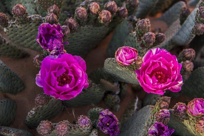 Desert Rose 1